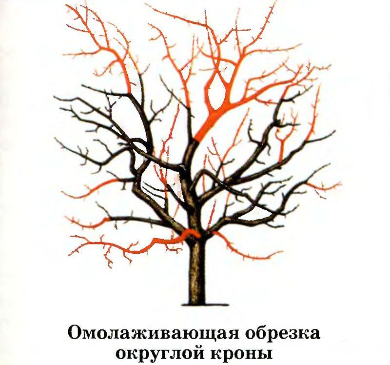 Омолаживающая обрезка плодового дерева