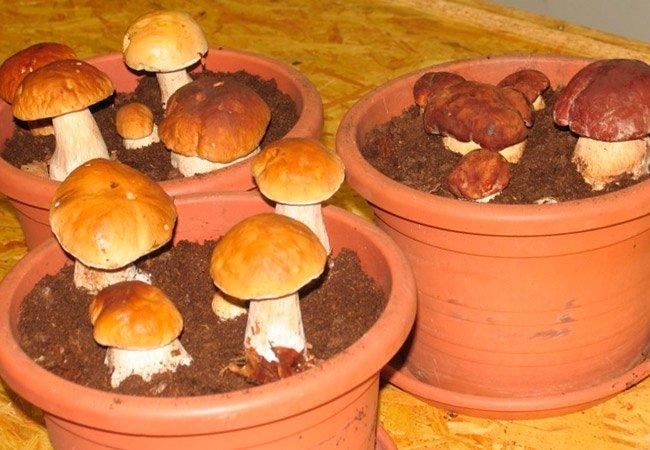 Любимые многими белые грибы выращивают в цветочных горшках