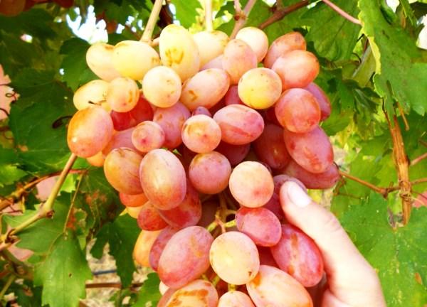 Виноград Юлиан: полное описание и характеристики сорта, плюсы и минусы, отзывы садоводов   правила посадки и ухода