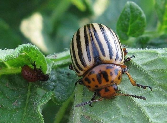 Спасаем баклажаны от колорадского жука